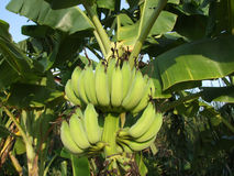 Green bananas on the tree, Thailand. Unripe bananas growing in the sunlight in the jungle, Thailand Stock Photo