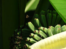 Green bananas on a tree Royalty Free Stock Photos