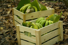 Green bananas in wood boxes Stock Photos
