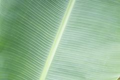 Green bananna macro leaf backgrond Royalty Free Stock Photography