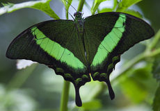 Green Banded Peacock Butterfly Papilio Palinuris Stock Photos