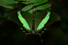 Green banded Swallowtail butterfly. Or Papilio palinurus royalty free stock photo