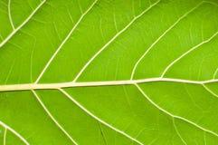 A green banyan leaf pattern. Beautiful leaf of the banyan tree royalty free stock photos