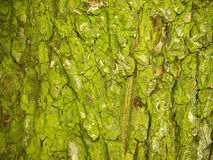 Green bark. Green background made of old, textured bark Stock Image