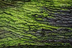 Green bark texture Royalty Free Stock Image