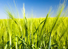 Green barley. Photo of green ears of unripe barley (summertime of year Royalty Free Stock Image