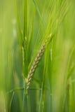 Green Barley Royalty Free Stock Image