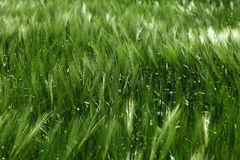Green barley Royalty Free Stock Images
