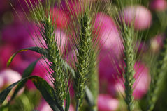 Green barley Royalty Free Stock Photography