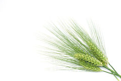 Green barley Royalty Free Stock Photos