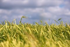 Green barley against a blue sky. Barley grain is used for flour, barley bread, barley beer, some whiskeys, some vodkas, and animal. Fodder - copy space stock image