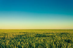 Green barley ears Royalty Free Stock Photo