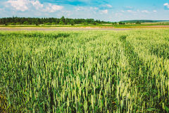 Green Barley Ears Field Early Summer. Green Background Royalty Free Stock Image