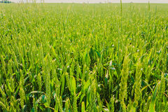 Green barley ears Royalty Free Stock Images