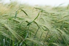 Green barley field Stock Image