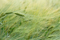 Green barley field Royalty Free Stock Photography