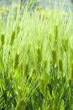 Green barley field Stock Photos