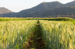 Green Barley Field Stock Photography