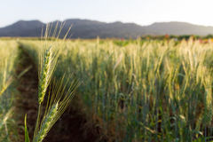 Green barley field. In spring on a sunny day stock photo