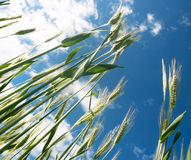 Green barley field Royalty Free Stock Images