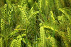Green barley field, abstract nature background for agriculture a Royalty Free Stock Photo