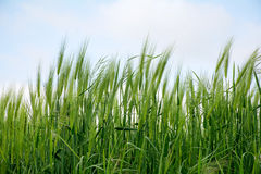 Green barley field against the sky Royalty Free Stock Photo