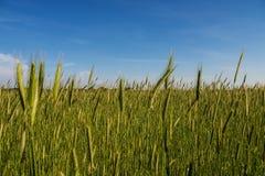 Green barley field Royalty Free Stock Photo