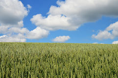 Green barley field and cloudscape Royalty Free Stock Images