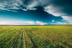 Green Barley Field, Early Spring. Agricultural Stock Photography