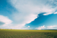Green Barley Field, Early Spring. Agricultural Royalty Free Stock Photos