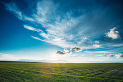 Green Barley Field In Early Spring. Agricultural Stock Photo