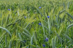 Green barley field in early summer Royalty Free Stock Photography