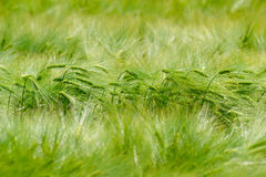 Green Barley Field stock images