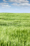 Green barley field landscape Royalty Free Stock Image