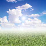 Green barley field. In the morning Royalty Free Stock Photos