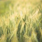 Green barley field Nature background Stock Photo