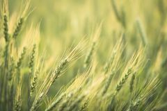 Green barley field Nature background Stock Photography