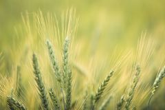Green barley field Nature background Royalty Free Stock Photo