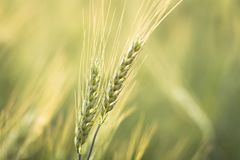 Green barley field Nature background Royalty Free Stock Photography
