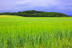 Green barley field and sky. Stock Photography