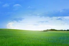 Green barley field and sky. Royalty Free Stock Photos