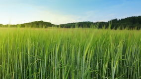 Green barley field and sky. stock footage