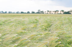 Green Barley Field with Sky Royalty Free Stock Image