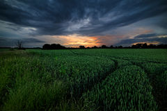 Green Barley Field with Stormy Sunset Royalty Free Stock Image