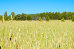 Green barley field in summer time,  rural scenery and farm Royalty Free Stock Images