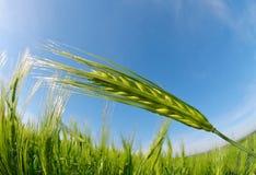 Green barley field in sunny day. Stock Photos