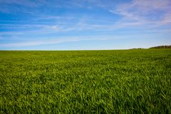 Green barley fields and blue sky, background nature. Green barley fields blue sky background nature life young village growth farmland spring landscape fresh royalty free stock photography