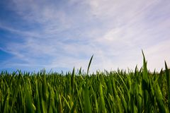 Green barley fields and blue sky, background nature. Green barley fields blue sky background nature life young village growth farmland spring landscape fresh stock image