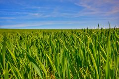 Green barley fields and blue sky, background nature. Green barley fields blue sky background nature life young village growth farmland spring landscape fresh stock photo