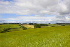 Green barley fields Royalty Free Stock Images